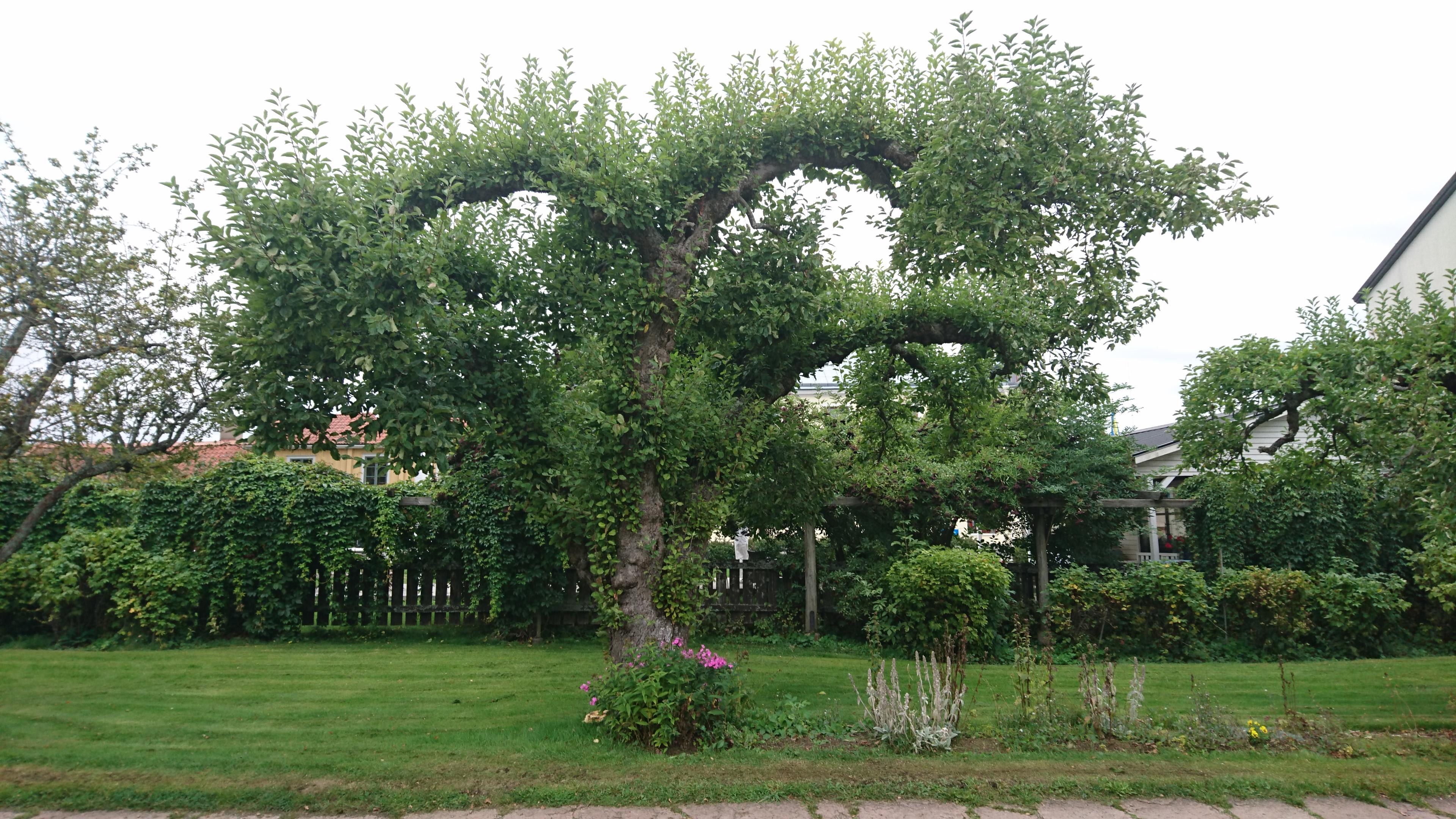 Beskära fruktträd – hur svårt kan det vara?