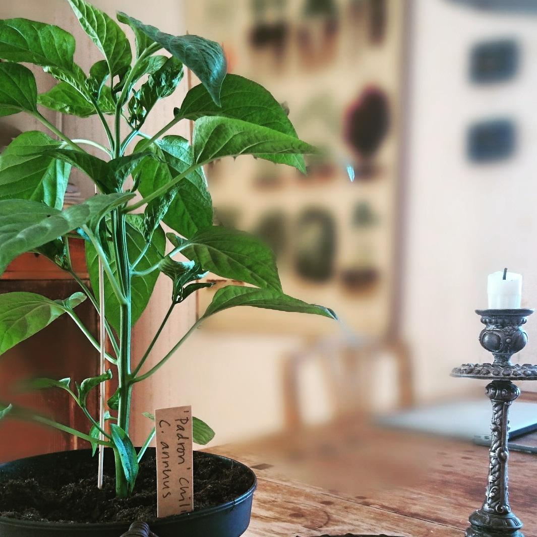 Chili och paprika – omskolning, ödem och första blomman