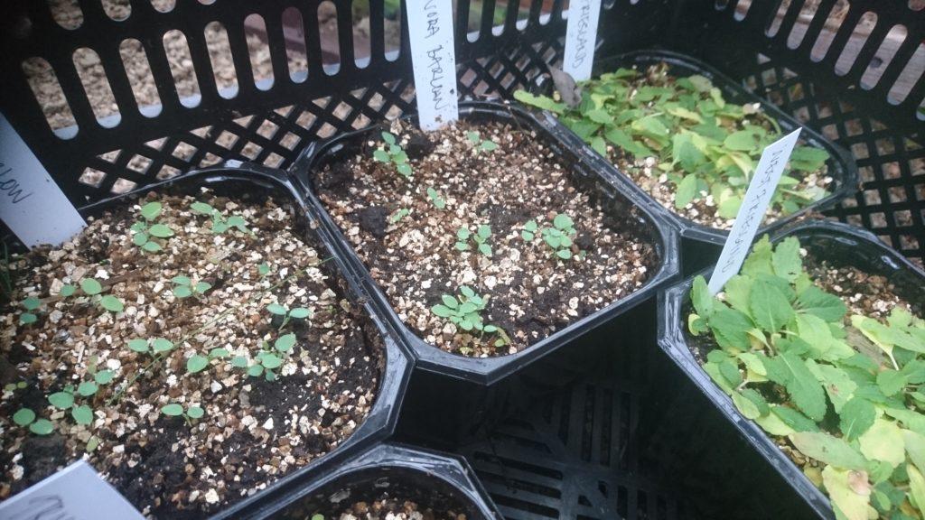 Små fröplantor av perenner