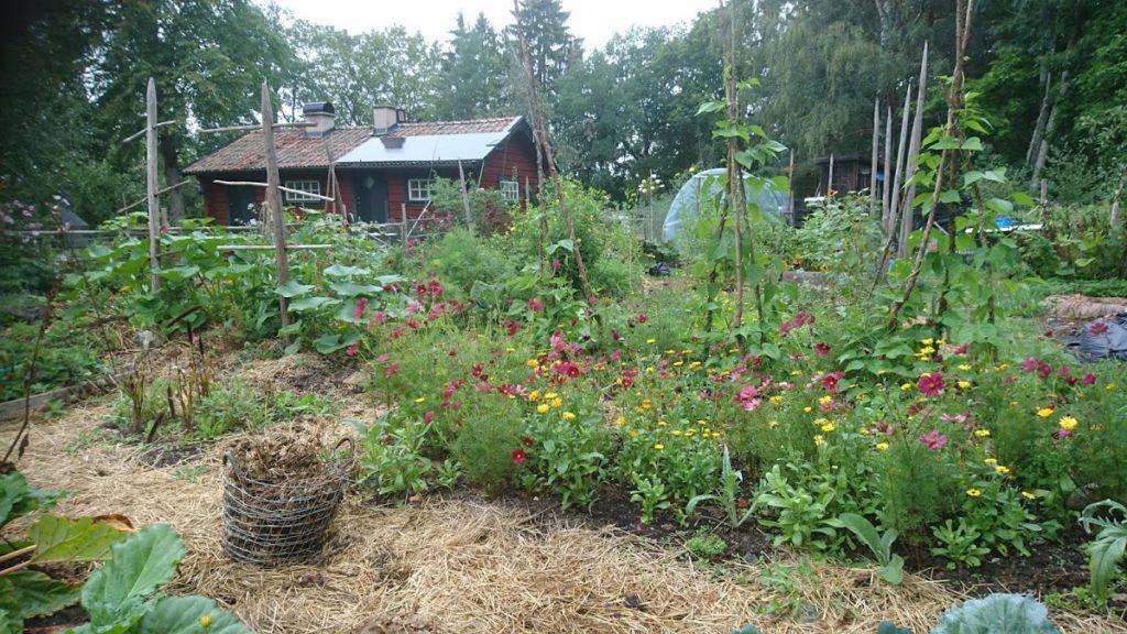 Odlingar med grönsaker och sommarblommor i täckodlade bäddar.